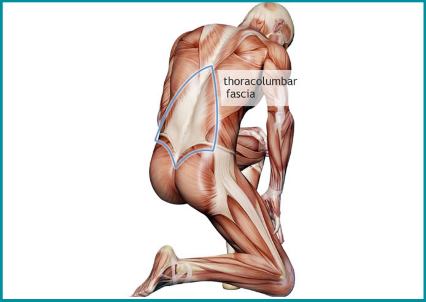 Les fascias et le mal de dos